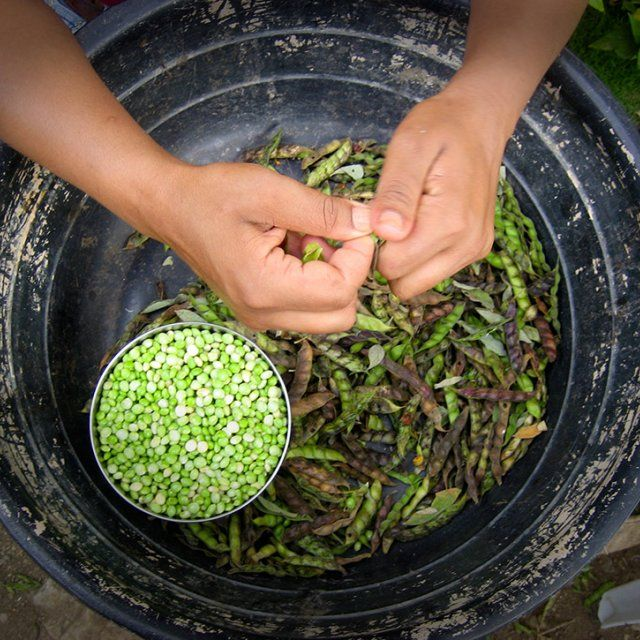 A bird's eye perspective of hands shucking green lima beans into a large metal pot