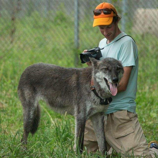 Caleb Bryce takes a photograph of an adult grey wolf